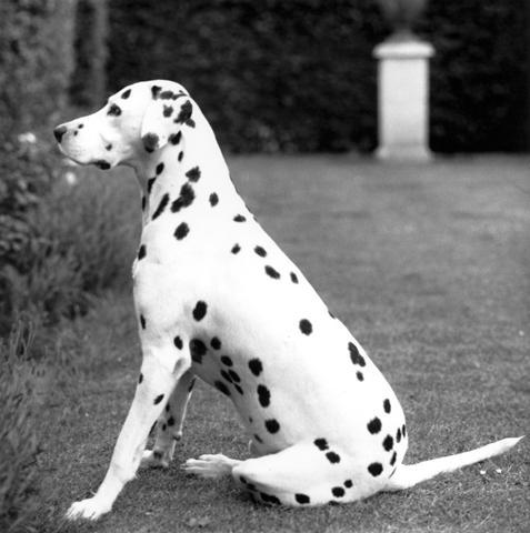 <i>Dalmatian</i>, 1976