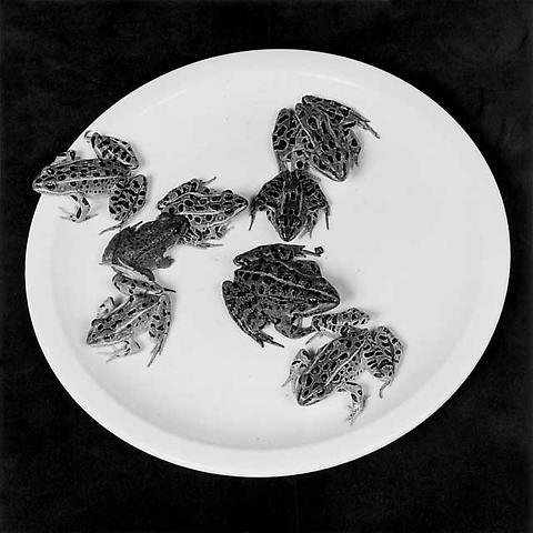 <i>Frogs</i>, 1984