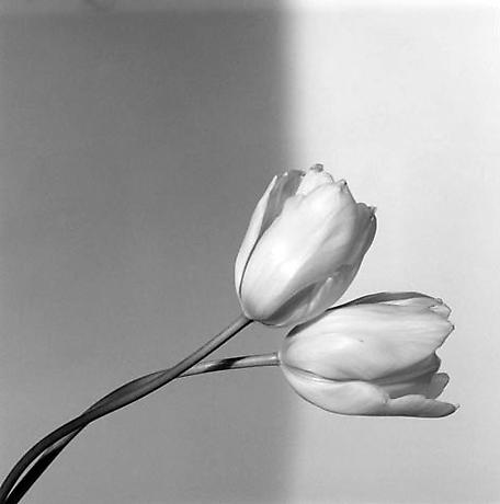 Robert Mapplethorpe - Tulip - 1985