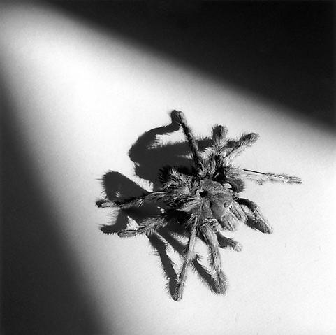 <i>Tarantula</i>, 1988