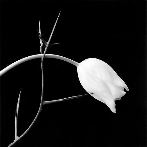 &lt;i&gt;Tulip&lt;/i&gt;, 1985