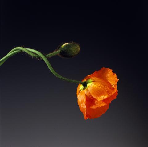 <i>Poppy<i/>, 1988