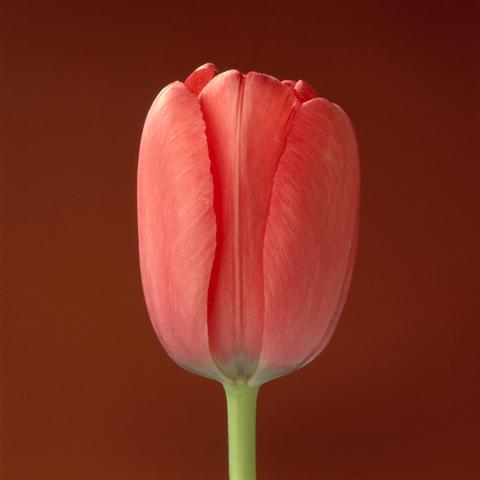 <i>Tulip<i/>, 1988