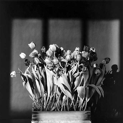 <i>Tulips</i>, 1983