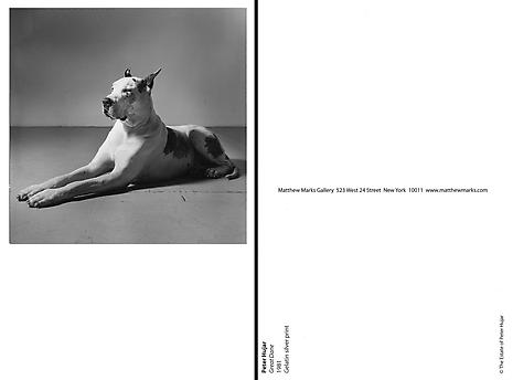 Great Dane 1981 Gelatin silver print