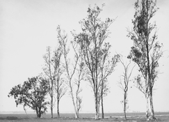 <I>Abandoned windbreak, west of Fontana, California</i>  1982 Gelatin silver print  7 x 8 3/4 inches; 18 x 22 cm