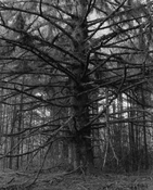 <I>Sitka spruce, Cape Blanco State Park, Curry County, Oregon</i>  1999-2000 Gelatin silver print 12 3/4 x 10 1/4 inches; 32 x 26 cm