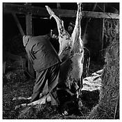 <i>Cow Being Slaughtered</i> 1980 Gelatin-silver print 14 3/4 x 14 3/4 inches; 37.5 x 37.5 cm