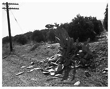 <i>Ornamental Cactus Destroyed by Shotgun Fire, Redlands, California</i> 1978 Gelatin-silver print 20 x 16 inches; 41 x 51 cm
