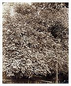 August Kotzsch, <i>Fliederblüthen (Lilac Blossoms)</i>, ca. 1870, Albumen print, 7 3/4 x 6 1/4 inches; 20 x 16 cm