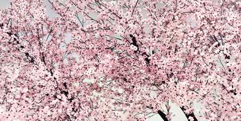 <I>Bloom</i> 2014 C-print mounted on plexiglas 78 3/4 x 156 3/4 inches; 200 x 398 cm