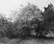 <I>Abandoned citrus trees, vacant block, Ontario, California</i> 1982 Vintage gelatin silver print mounted on board Image: 9 x 11 1/4 inches; 23 x 29 cm Mount: 14 x 15 1/2 inches; 36 x 39 cm
