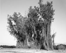 <I>Remains of a eucalyptus wind break among citrus groves, Redlands, California</i> 1982 Vintage gelatin silver print Image: 8 1/4 x 10 1/4 inches; 21 x 26 cm Sheet: 11 x 14 inches; 28 x 36 cm