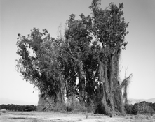 <I>Remains of a eucalyptus wind break among citrus groves, Redlands, California</i> 1982 Gelatin silver print 8 1/4 x 10 1/4 inches; 21 x 26 cm