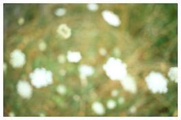 <i>Wildflowers, Bovina</i> 2003 C-print 20 x 30 inches; 51 x 76 cm