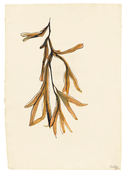 <I>Seaweed</i> 1949 Ink on paper 17 3/8 x 12 1/4 inches; 44 x 31 cm
