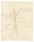 <I>Rubber Plant</i> 1957 Graphite on paper 24 3/4 x 20 1/2 inches; 63 x 52 cm