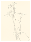 <I>Lilies</i> 1980 Graphite on paper  30 x 22 1/8 inches; 76 x 56 cm