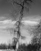 <I>Among the last trees surrounding a farm house. Edge of Longmont, Colorado</i> 1982 Gelatin silver print 18 5/8 x 14 3/4 inches; 47 x 38 cm
