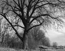 <I>Cottonwood, edge of development, Longmont, Colorado</i>  1984 Gelatin silver print  9 x 11 1/4 inches; 23 x 29 cm