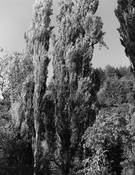 <I>Poplars. McGowan, Washington</i>  2002 Gelatin silver print  11 1/2 x 9 inches; 29 x 23 cm