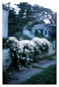 <i>White Vine, Sag Harbor</i> 1998 Cibachrome 30 x 20 inches 76 x 51 cm