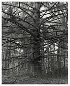 <i>Sitka Spruce, Cape Blanco State Park, Curry County, Oregon</i> 1999-2003 Gelatin-silver print 14 x 11 inches; 35.5 x 28 cm