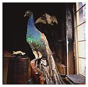 Nan Goldin <i>The peacock after the fire, Deyrolle, Paris</i> 2008 Cibachrome 30 x 30 inches; 76 x 76 cm