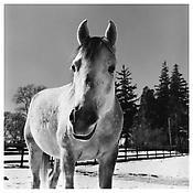<i>Horse - Germantown</i> 1982 Gelatin-silver print 14 5/8 x 14 3/4 inches; 37 x 37.5 cm