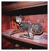 Nan Goldin <i>The goat burned, Deyrolle, Paris</i> 2008 Cibachrome 30 x 30 inches; 76 x 76 cm