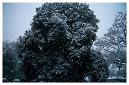 <i>Tree in first snowfall, Priory Hospital, London</i> 2003 Cibachrome 30 x 40 inches; 76 x 102 cm