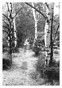 <i>Birches in Friedhof, Berlin</i> 1992 gelatin silver print 40 x 27 inches; 102 x 69 cm
