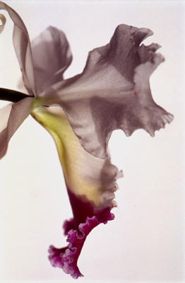 Thomas Florschuetz&lt;br /&gt;Untitled (Orchidee)&lt;br /&gt;2000/01&lt;br /&gt;cibachrome&lt;br /&gt;35 3/8 x 23 5/8 inches (90 x 60 cm)&lt;br /&gt;edition of 40&lt;br /&gt;PF1953&lt;br /&gt;minimum donation: EUR 1,900.&lt;br /&gt;