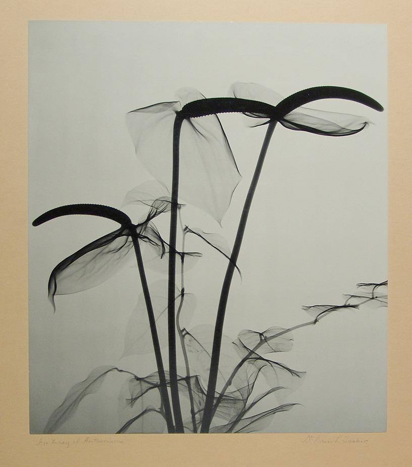 Dr. Dain L. Tasker <i>An X-Ray of Anthuriums</i> c.1930 Vintage gelatin silver print 14.75 x 13 inches