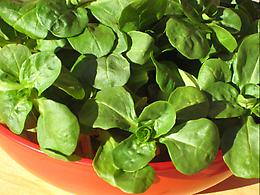 Mache and Blood Orange Salad