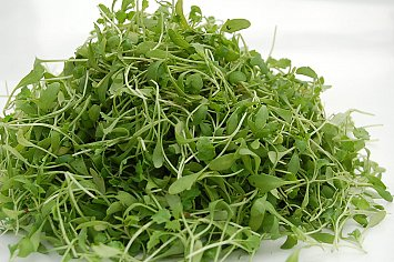 Micro Cilantro