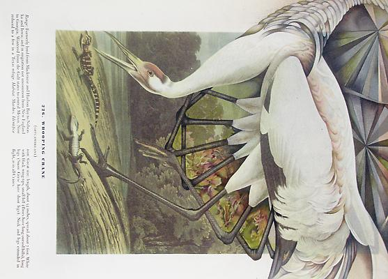Audubon Drawing Series 226, 2010 Mixed media on paper 9 x 12 ¼ inches Image