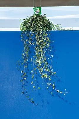 Lysol Planter, 2013 Ivy and Lysol watering spike Dimensions variable Image