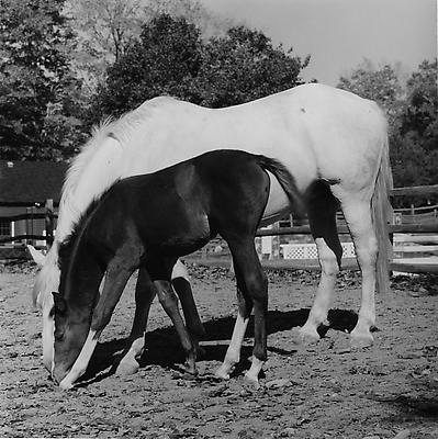Horse #5, 1982 gelatin silver print image: 15 1/4 x 15 1/4 inches (38.7 x 38.7 cm) paper: 20 x 16 inches (50.8 x 40.6 cm) edition of 10 with 2 APs  MAP-968 Selected by Vermont participant