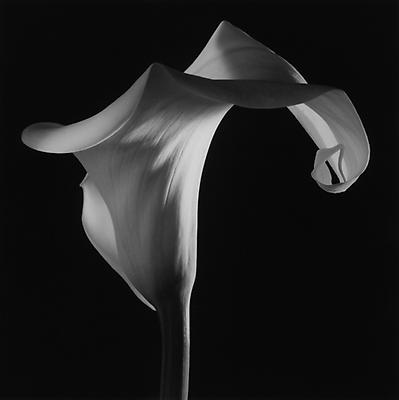 Calla Lily, 1988 © Robert Mapplethorpe Foundation. Used by permission.