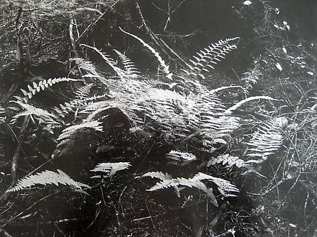 Ferns #3, Deer Isle, Maine 1953-55 gelatin silver print 14 x 11 inches